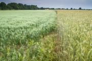 Anbau alter Getreidesorten auf dem Modellacker Wartha (Foto: Steffen Krausche)